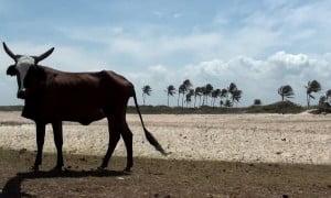 Vache-Bresil